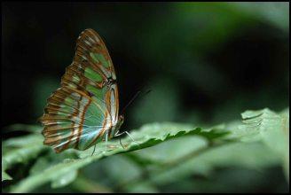 Green butterfly / papillon vert - Ecuador, Equateur